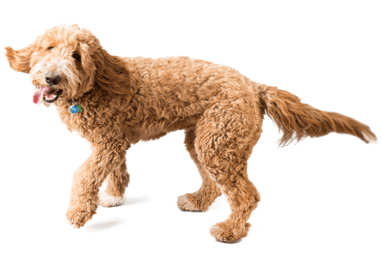 Goldendoodle Puppies for Sale in Florida - Adoptapet com