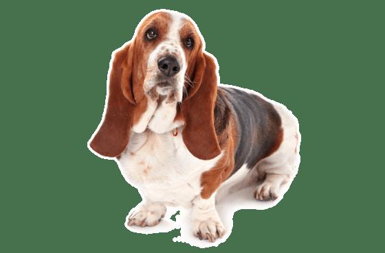 Basset Hound Puppies In Atlanta