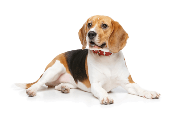 Beagle Puppies for Sale in Kentucky - Adoptapet com