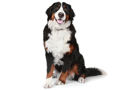 Bernese Mountain Dog Puppies For Sale In Georgia Adoptapetcom