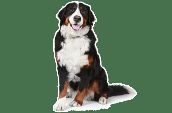 Bernese Mountain Dog Puppies For Sale In Alpharetta Georgia