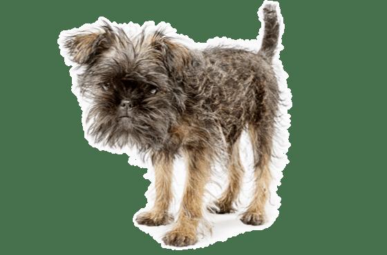 Affenpinscher Puppies for Sale in Phoenix Arizona - Adoptapet com