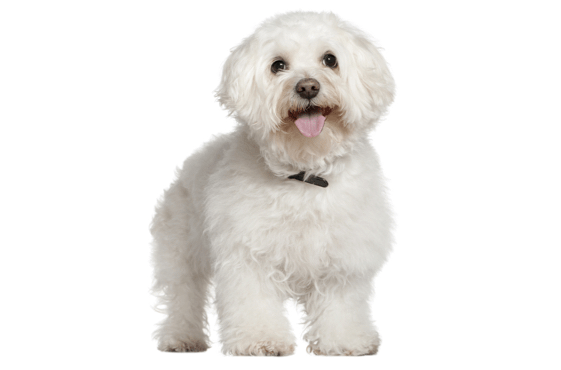 Bichon Frise Puppies for Sale in Quebec - Adoptapet com