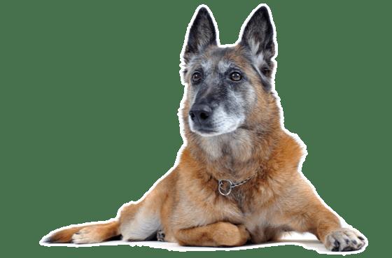 Belgian Malinois Puppies For Sale In Manitoba Adoptapetcom