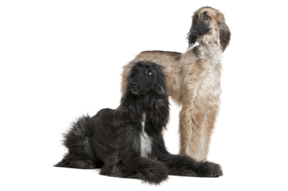 Afghan Hound Puppies In Columbus