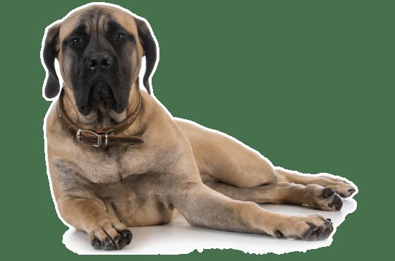 Mastiff Puppies For Sale In Milwaukee Wisconsin Adoptapet Com