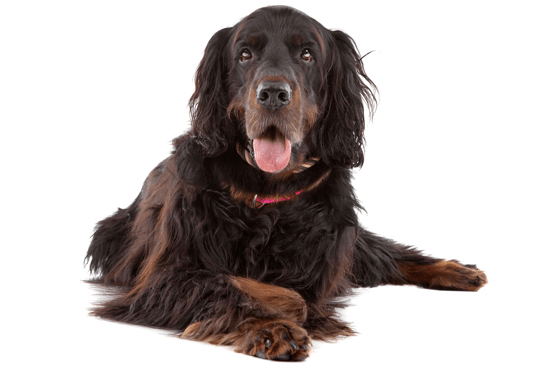 Flat-Coated Retriever Puppies for Sale in British Columbia