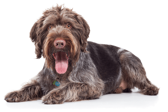 German Wirehaired Pointer Puppies For In North Carolina