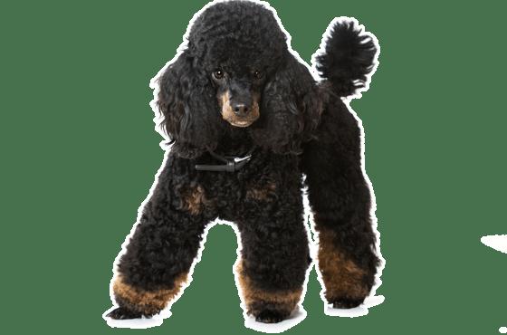 Poodle Miniature Puppies For Sale In California Adoptapet Com