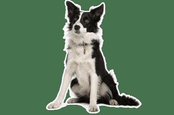 Border Collie Puppies for Sale in Ohio - Adoptapet com