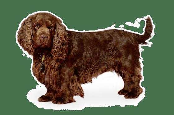 Sussex Spaniel Puppies for Sale in Minnesota - Adoptapet com
