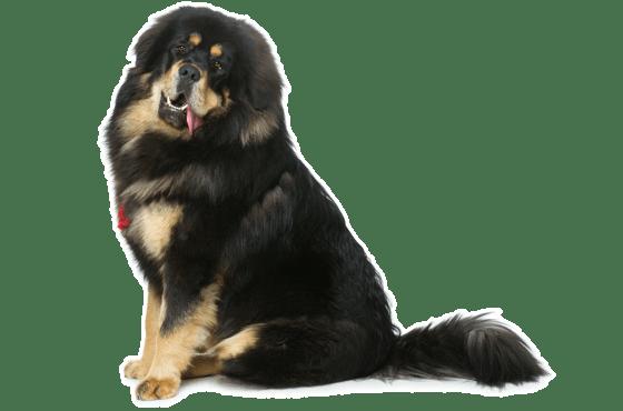 Tibetan Mastiff Puppies For Sale In California Adoptapet Com