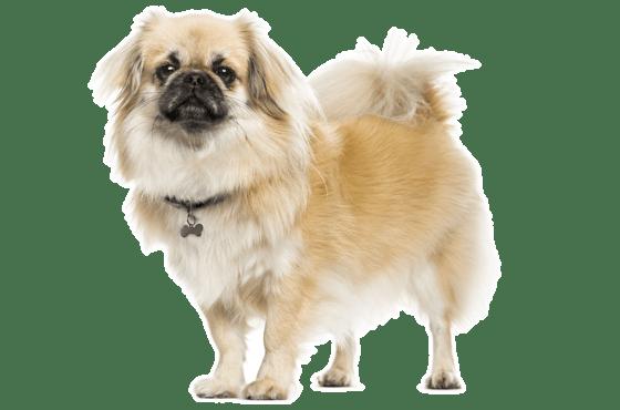 Tibetan Spaniel Puppies For Sale In Florida Adoptapet Com