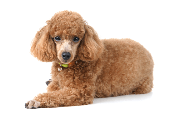 Poodle Toy Or Tea Cup Puppies For Sale In Colorado