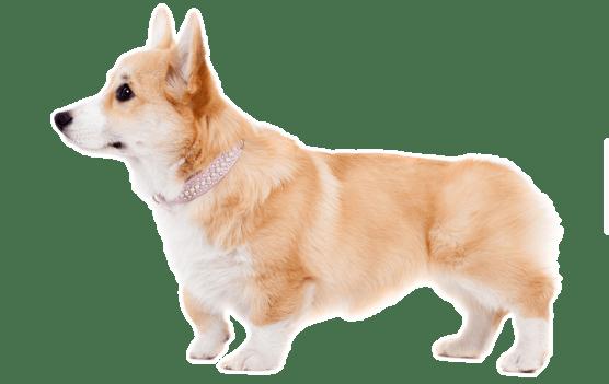 Corgi Puppies For Sale In New York Adoptapet Com