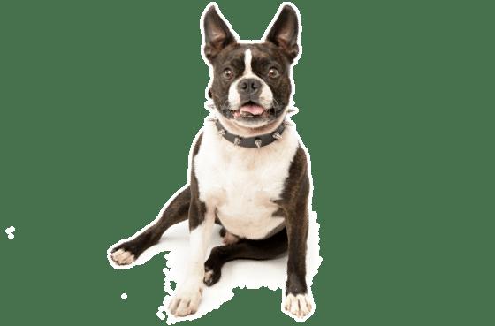 Boston Terrier Puppies For Sale In Florida Adoptapetcom
