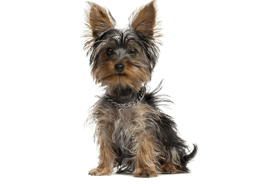 Yorkie, Yorkshire Terrier Puppies for Sale in Georgia