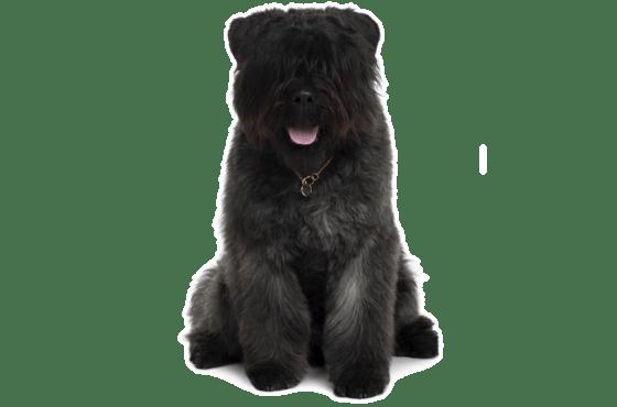 Bouvier Des Flandres Puppies For