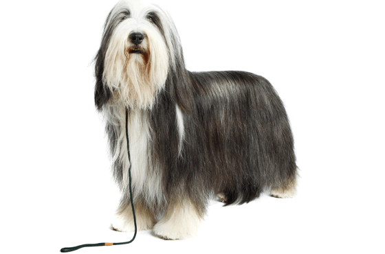 Old English Sheepdog Puppies for Sale in Texas - Adoptapet com