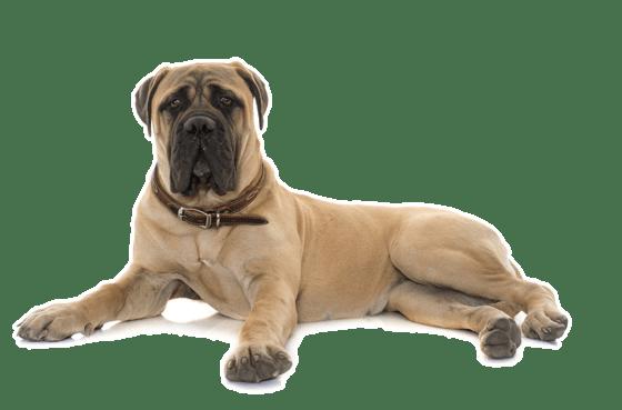 Bullmastiff Puppies for Sale in Birmingham Alabama