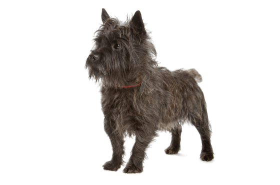 Cairn Terrier Puppies for Sale in Florida - Adoptapet com
