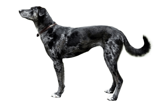 Catahoula Leopard Dog Puppies For