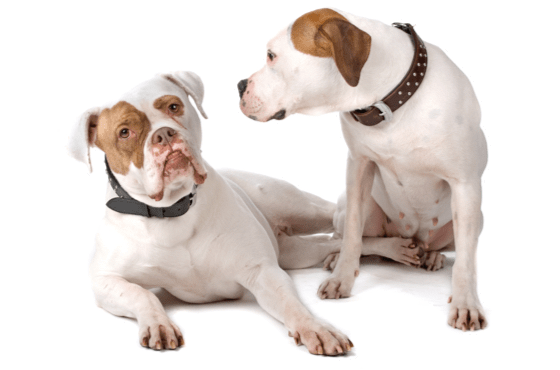 American Bulldog Puppies For Sale In Florida Adoptapetcom