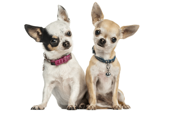 Chihuahua Puppies for Sale in Georgia - Adoptapet com