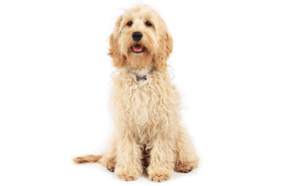 Cockapoo Puppies In Houston