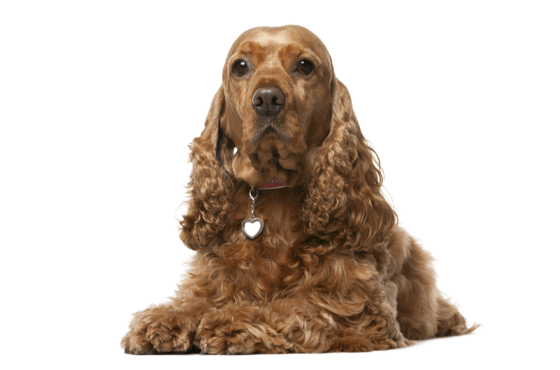 Cocker Spaniel Puppies for Sale in Florida - Adoptapet com
