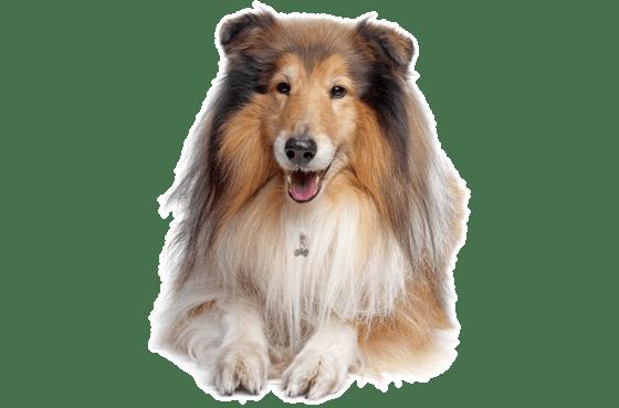 Collie Puppies for Sale in Ohio - Adoptapet com