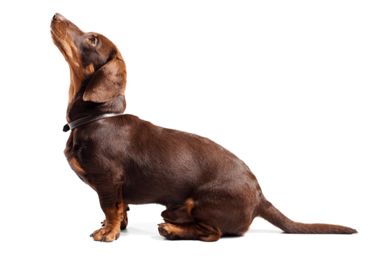 Dachshund Puppies for Sale in Kentucky - Adoptapet com