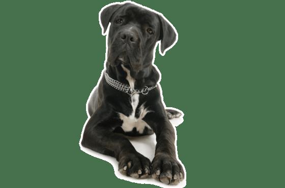 Cane Corso Puppies for Sale in Alberta - Adoptapet com