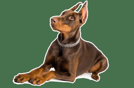 Doberman Pinscher Puppies In Illinois