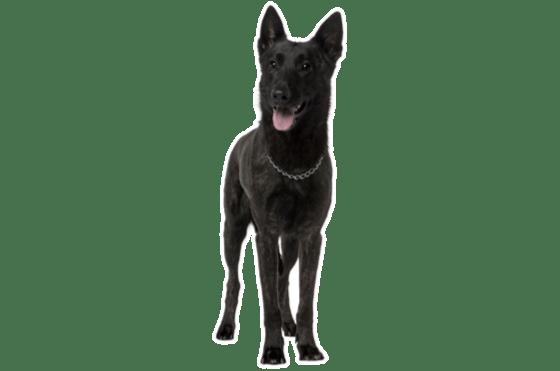 Dutch Shepherd Puppies For Sale In Manitoba Adoptapetcom