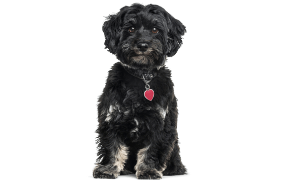 Havanese Puppies For Sale In Michigan Adoptapetcom
