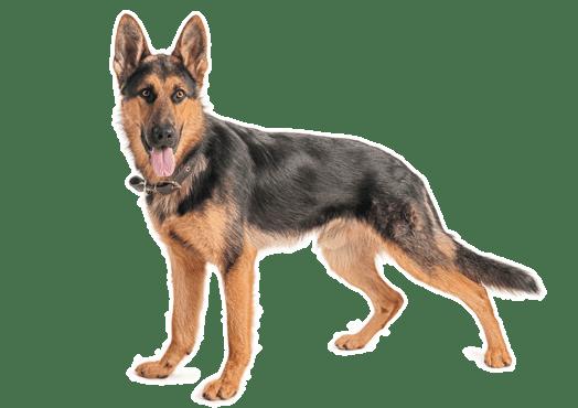 German Shepherd Dog Puppies For Sale In California Adoptapetcom