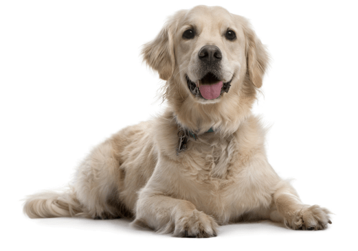 Golden Retriever Puppies for Sale in Wisconsin - Adoptapet com
