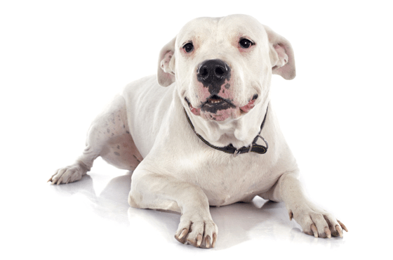 Dogo Argentino Puppies for Sale in Idaho - Adoptapet com