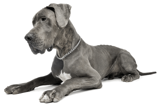 Great Dane Puppies In Indianapolis