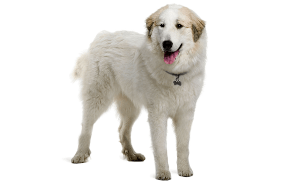 Great Pyrenees Puppies for Sale in Auburn Alabama - Adoptapet com