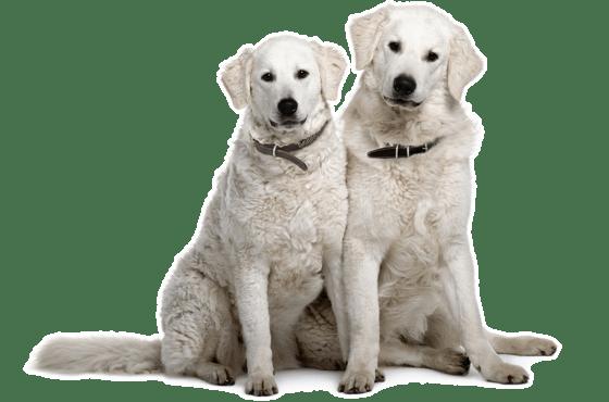 Kuvasz Puppies In Austin