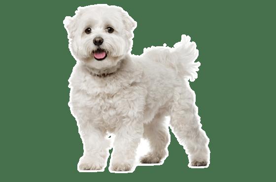 Maltese Puppies For Sale In Georgia Adoptapetcom