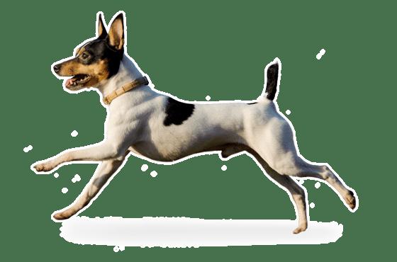 Toy Fox Terrier Rescue Colorado - petfinder
