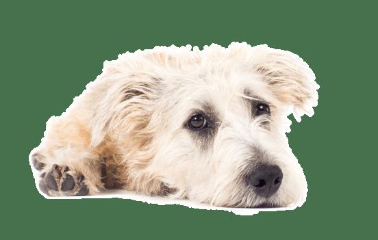 Glen Of Imaal Terrier Puppies In San Jose