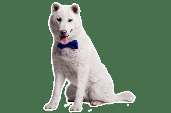 Kishu Puppies for Sale in Phoenix Arizona - Adoptapet com
