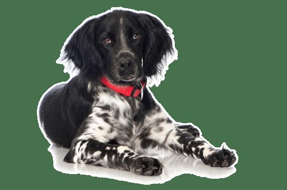 Munsterlander Puppies For Sale In Denver Colorado