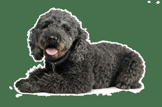 Pumi Puppies for Sale in Texas - Adoptapet com