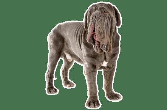 Neapolitan Mastiff Puppies For Sale In Georgia Adoptapet Com