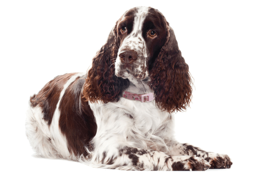 Welsh Springer Spaniel Puppies For Sale In Ohio Adoptapet Com